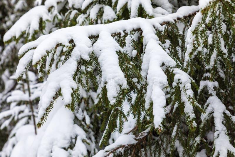 Der weiße und grüne schöne Winterhintergrund der Niederlassungen der Tanne oder des gezierten Baums unter dem Schnee und dem Hoar stockfotos