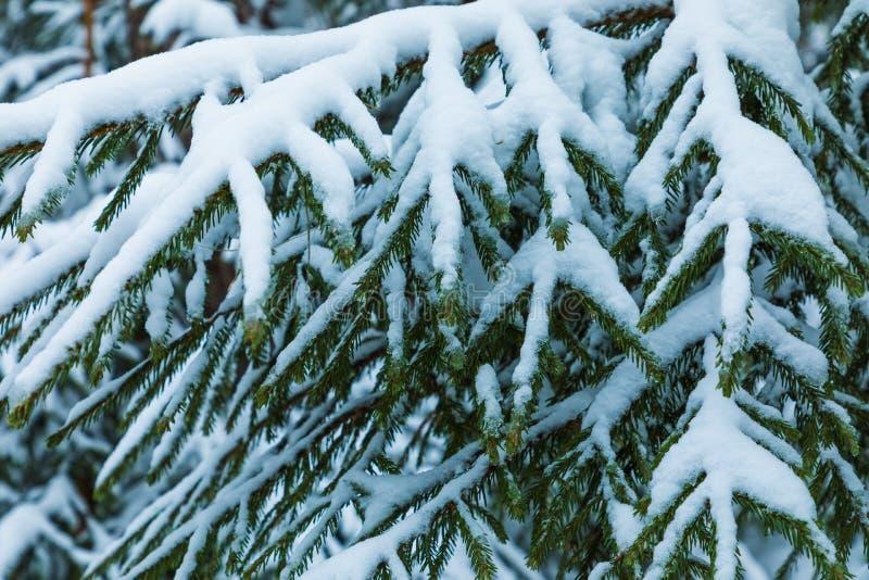Der weiße und grüne schöne Winterhintergrund der Niederlassungen der Tanne oder des gezierten Baums unter dem Schnee und dem Hoar lizenzfreie stockfotografie