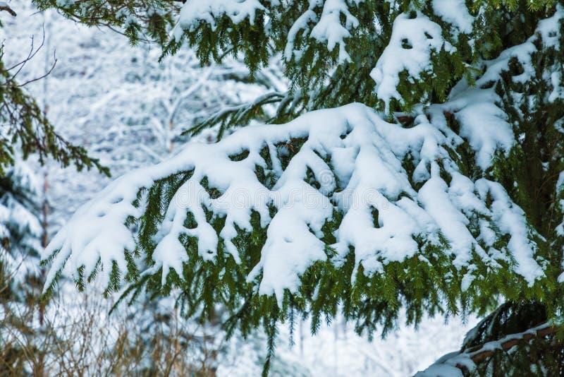 Der weiße und grüne schöne Winterhintergrund der Niederlassungen der Tanne oder des gezierten Baums unter dem Schnee und dem Hoar lizenzfreie stockfotos