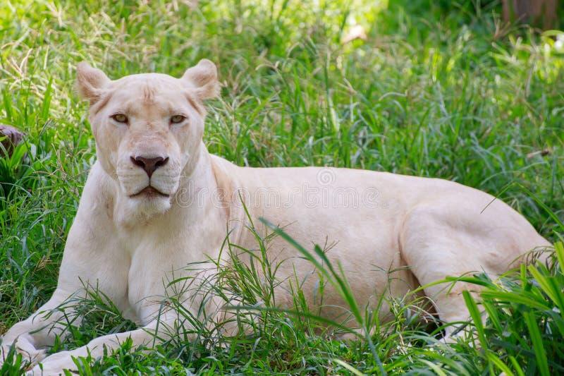 Der weiße weibliche Löwe lizenzfreie stockbilder