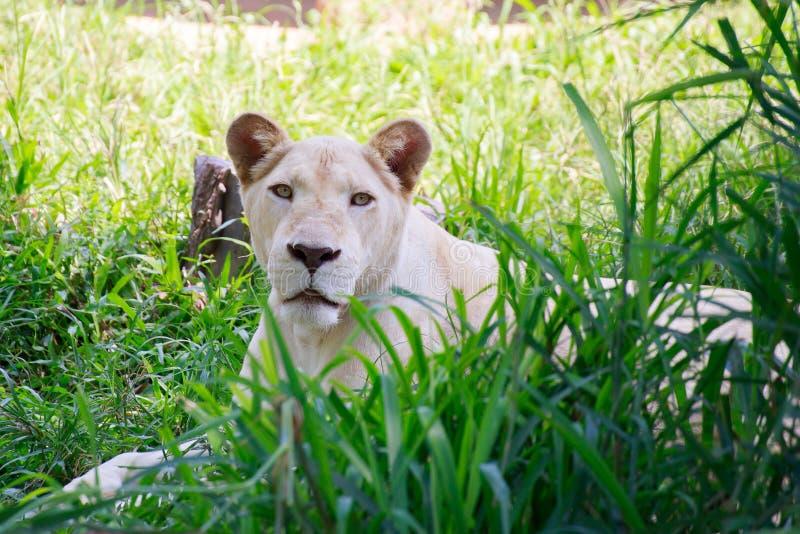 Der weiße weibliche Löwe lizenzfreie stockfotos