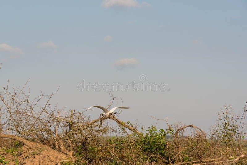 Der weißen Flugsimulator des Reihers stockfoto