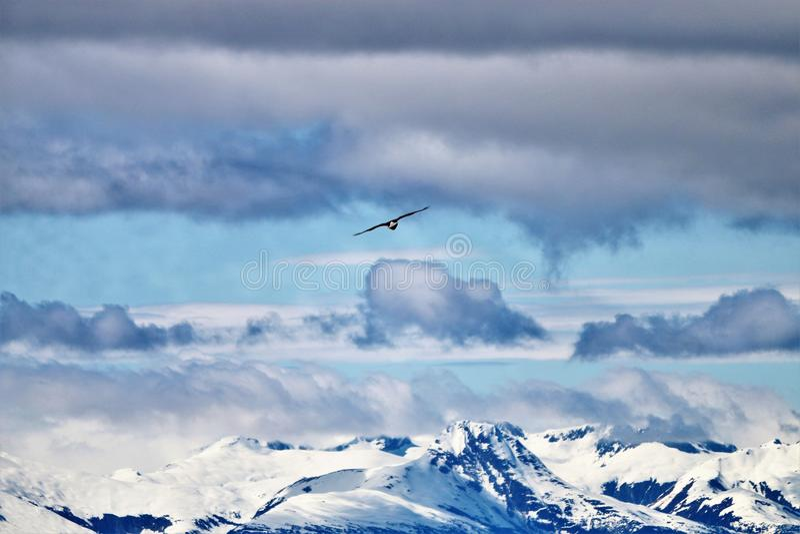 Der Weißkopfseeadler, der über Schnee ansteigt, bedeckte Berge in Juneau Alaska mit einer Kappe lizenzfreie stockfotografie