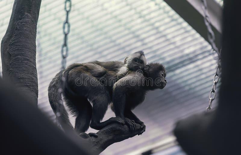 Der weibliche Gibbonaffe, der ein Baby hält stockfotos