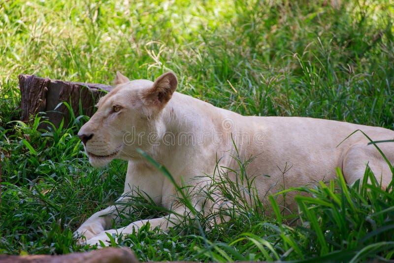 Der weibliche Löwe stockfoto