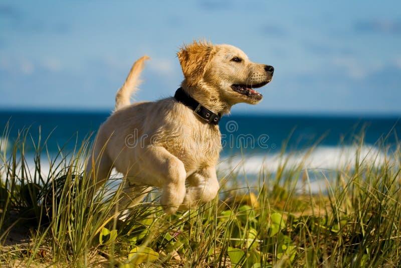 Der Welpe springend auf den Strand stockfoto
