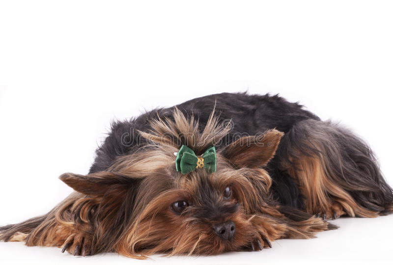Der Welpe Yorkshire-Terrier lizenzfreie stockfotografie