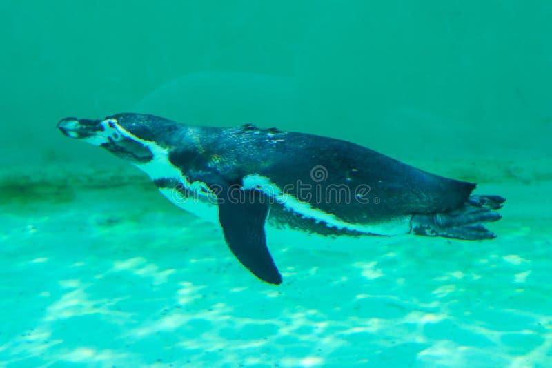 Der wenige gumboldt Pinguin schwimmt allein stockfotos