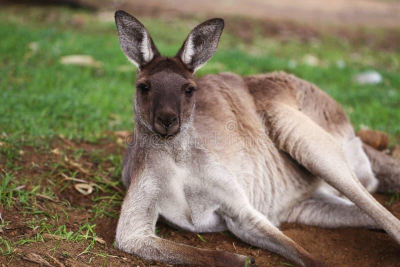 Der westliche graue Känguru (Macropus fuliginosus) lizenzfreie stockfotos