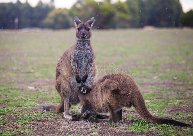 Der wilde famale K?nguru, der ihr joey vom Beutel einzieht australien lizenzfreie stockfotos
