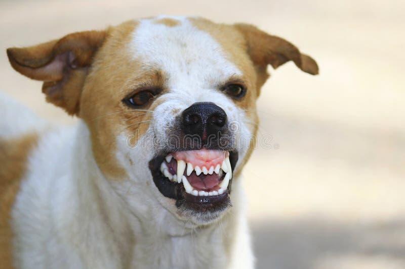 Der wilde Hund sah erschreckende Zähne und das Kauen stockbilder