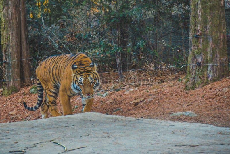 Der wilde Tiger, der mich betrachtet stockfotografie
