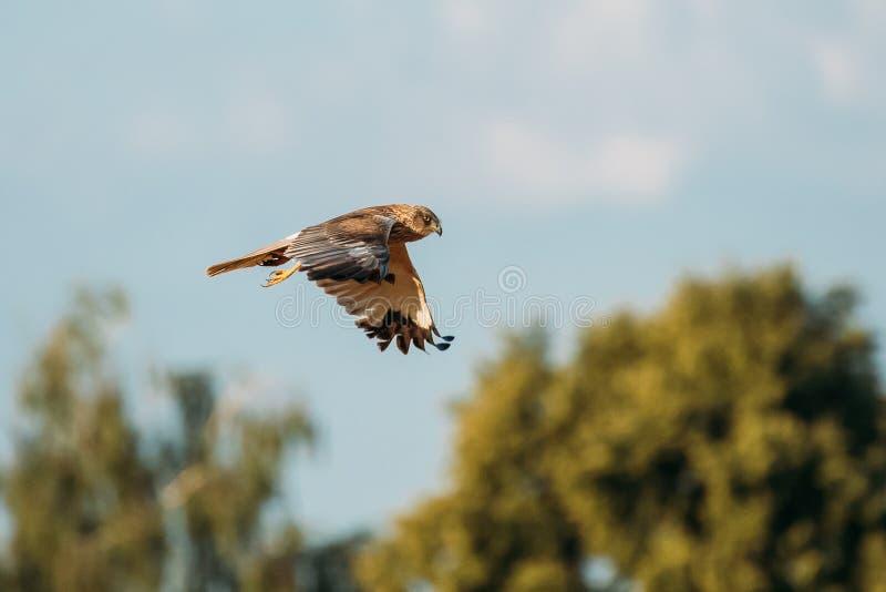 Der wilde Vogel Hen Harrier Or Circus Cyaneuss fliegt in blauen Himmel in Weißrussland lizenzfreies stockfoto