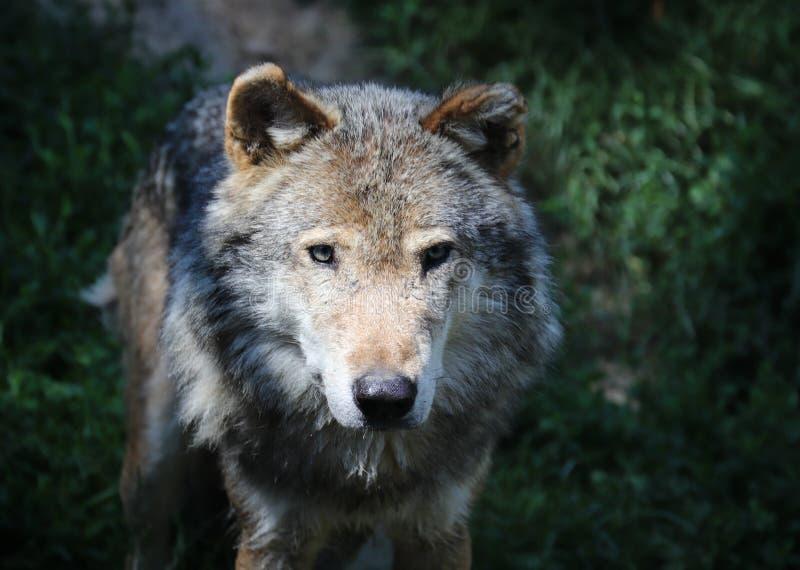 Der Wolf Canis Lupus-, alias Grauer/Grauewolf, der Timberwolf oder der Tundrawolf stockfotos