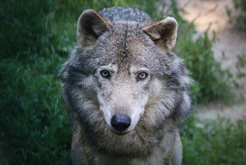 Der Wolf Canis Lupus-, alias Grauer/Grauewolf, der Timberwolf oder der Tundrawolf lizenzfreie stockfotografie
