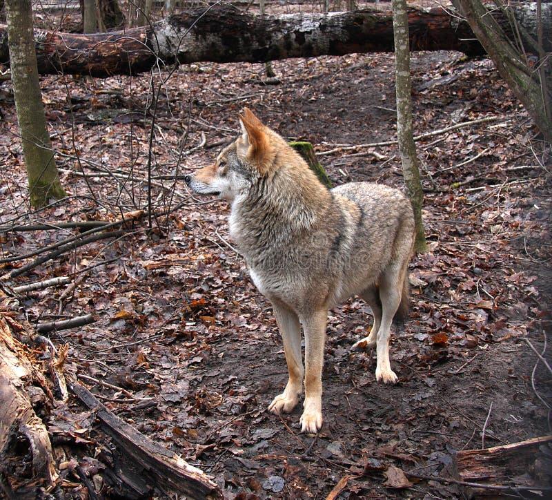 Der Wolf im Spätholz lizenzfreie stockfotos