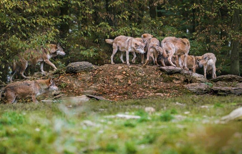Der Wolfsrudel stockfotos