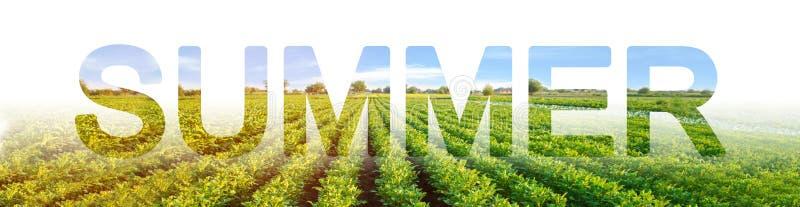 Der Wortsommer auf dem Hintergrund der Kartoffelplantage Winterfr?chte Jahreszeit des Jahres, aktive Phase des Wachsens, erntend lizenzfreie stockfotos