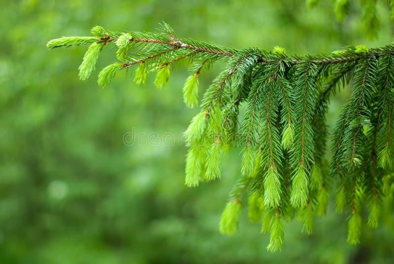 Der Zweig des Baums. stockfotos
