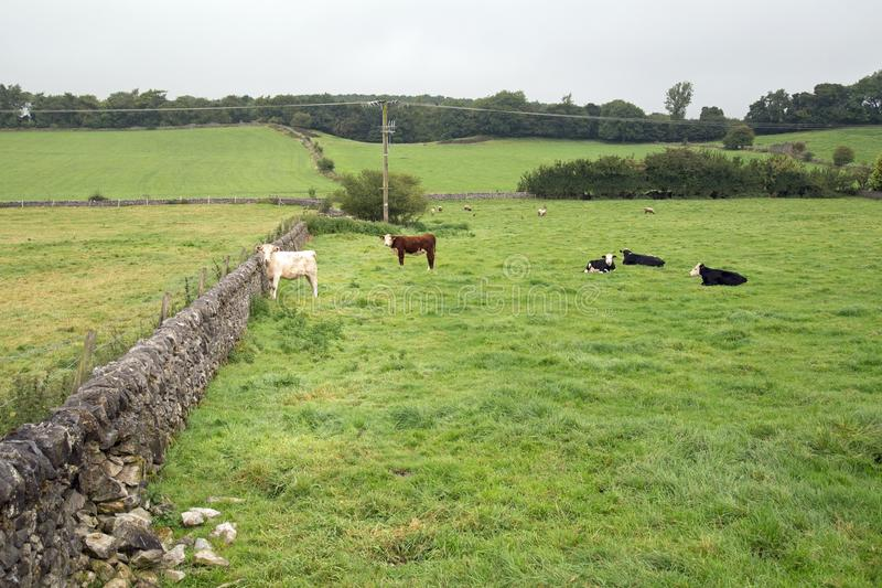 Cattle in a farm field protected by a dry stone wall royalty free stock photography