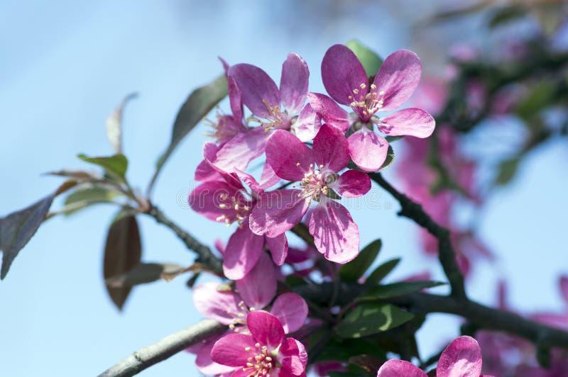 Derechos del Malus, manzano ornamental, primavera, flores rosadas púrpuras en ramas fotos de archivo libres de regalías