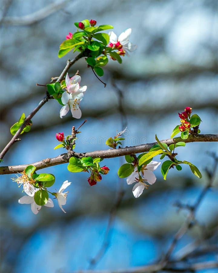 Dereniowego drzewa okwitnięcia zdjęcie stock