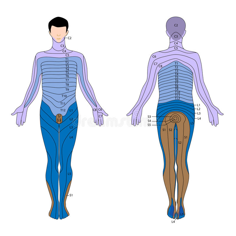 Dermatome Stock Vector Illustration Of Health Innervation 24703318
