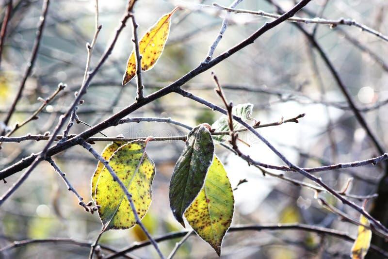 Dernières feuilles sur une branche photographie stock
