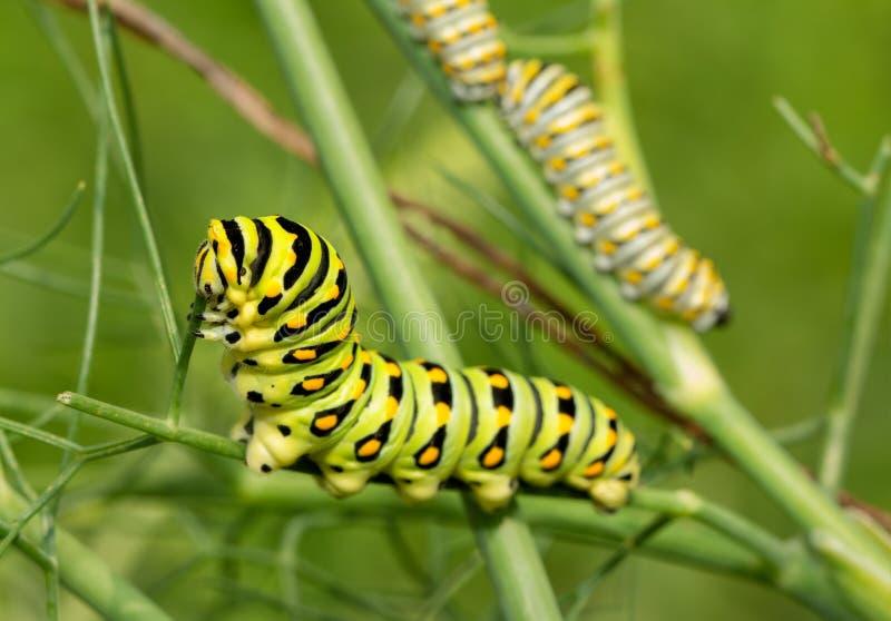 Dernier, cinquième instar d'une chenille noire de papillon de machaon mangeant une tige de fenouil, avec deux quatrièmes instars  image stock