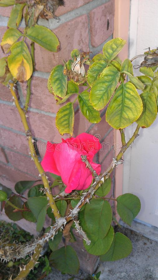Dernier Rosebud sur Rose Bush de mort photo libre de droits
