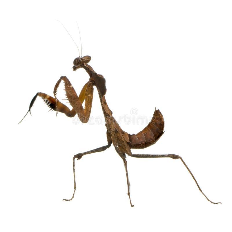 deroplatys desiccata螳螂祈祷的年轻人 免版税库存图片