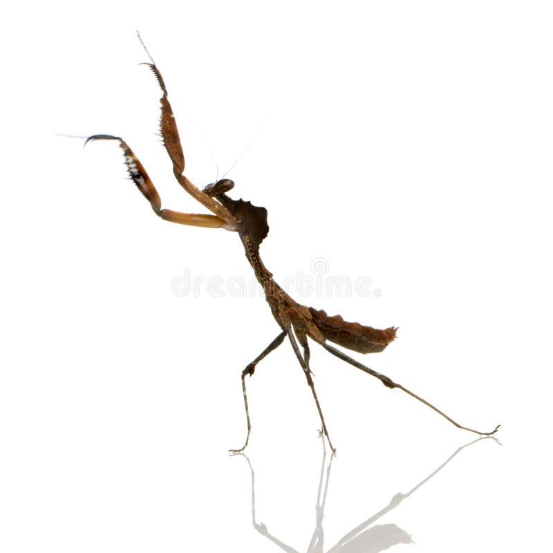 deroplatys mantis desiccata που προσεύχονται τ&i στοκ φωτογραφία με δικαίωμα ελεύθερης χρήσης