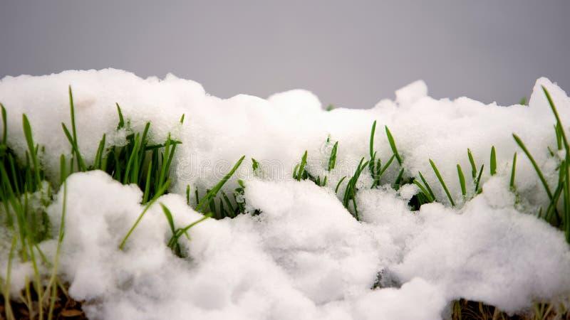 Derretendo a neve no fim da grama verde acima, dia de mola morno, renascimento do conceito da vida imagem de stock
