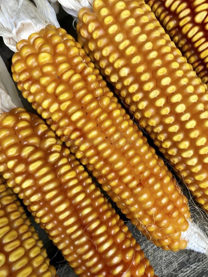 Des épis de maïs mûrs jaunes sont séchés, se sont étendus dans une rangée photo stock