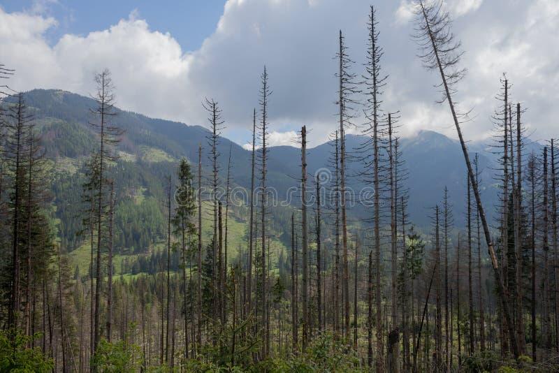 Des arbres impeccables morts sont infectés par le scarabée d'écorce impeccable européen en parc national de Tatra photo libre de droits