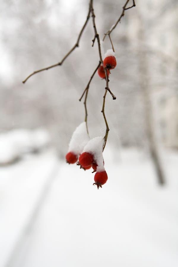 Des baies rouges d'aubépine sont couvertes de neige photos libres de droits