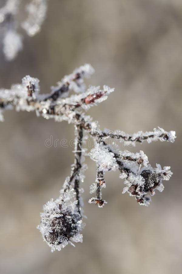 Des baies surgelées des cynorrhodons sont couvertes de cristaux de gel, clo image stock