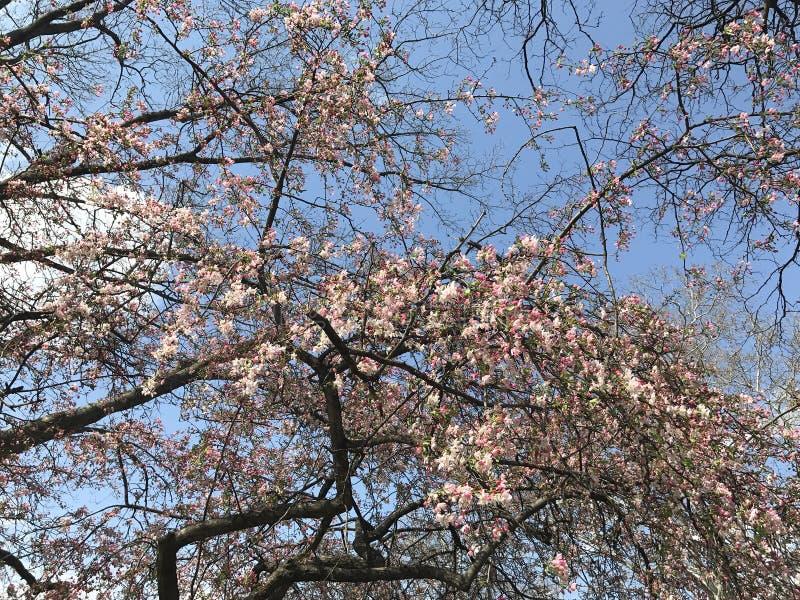 Des Baumapfels des Frühlinges blühende gute Laune des blauen Himmels sonnig stockfotos