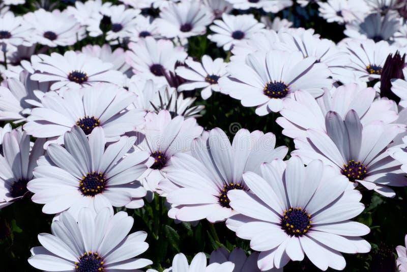 des Blumenfeldes des weißen Gänseblümchens afrikanisches Gänseblümchen oder Osteospermum-ecklonis oder Kapgänseblümchen stockfotos