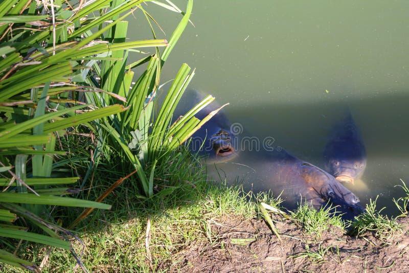 Des carpes dans l'étang nagent jusqu'au rivage photo libre de droits