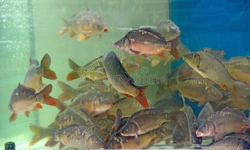 Des carpes nagent dans un aquarium de supermarché Cyprinus en tant qu'ingrédient alimentaire image stock