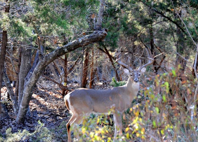 Des cerfs communs de 12 points, un mâle, ou des supports masculins de mâle observant majestueux son territoire de forêt photo stock