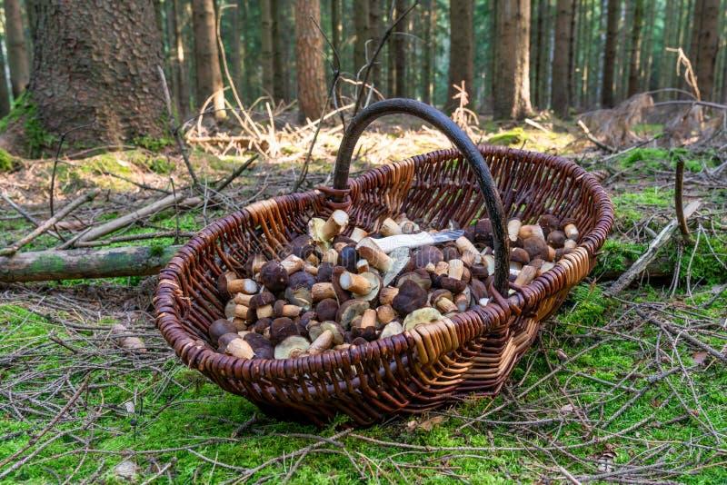 Des champignons de châtaignes frais se trouvent dans un grand panier image stock