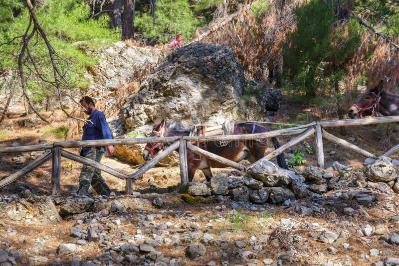Des chevaux menés par un guide sont employés pour transporter les touristes fatigués en Samaria Gorge en Crète centrale photos libres de droits