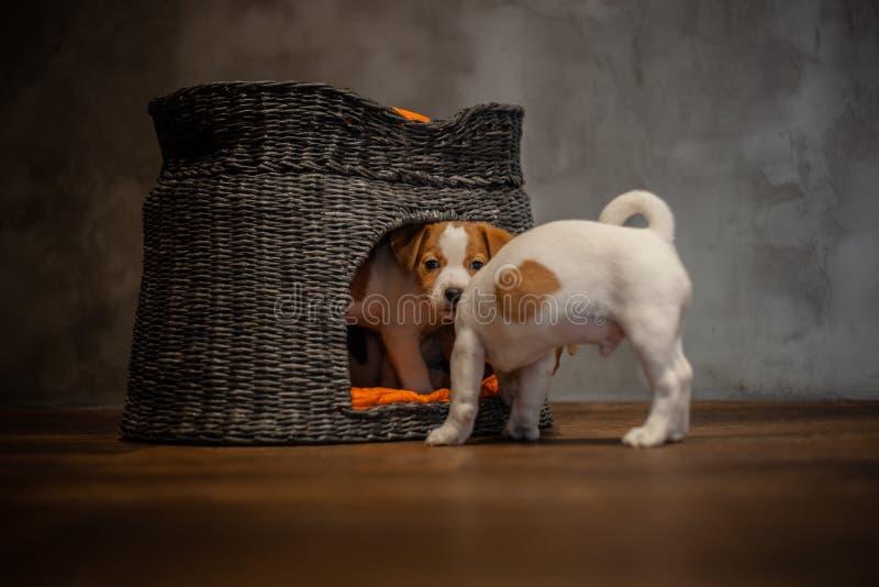 Des chiots de Jack Russell Terrier sont joués à côté d'une maison grise en osier avec les oreillers oranges image libre de droits