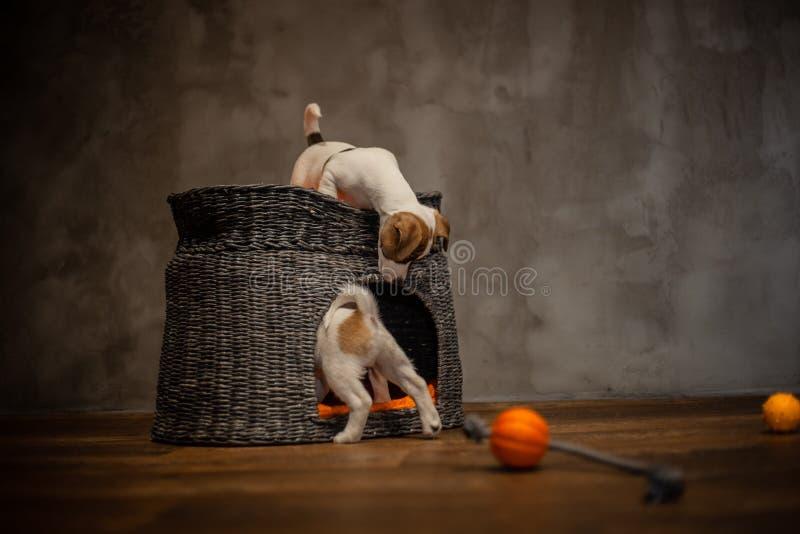 Des chiots de Jack Russell Terrier sont joués à côté d'une maison grise en osier avec les oreillers oranges photos libres de droits