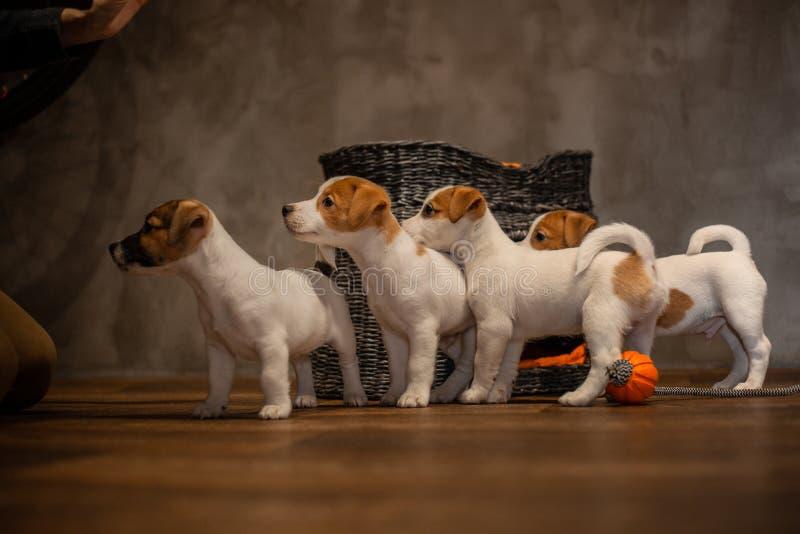 Des chiots de Jack Russell Terrier sont joués à côté d'une maison grise en osier photos stock