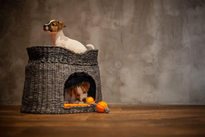 Des chiots de Jack Russell Terrier sont joués à côté d'une maison grise en osier avec les oreillers oranges photo stock