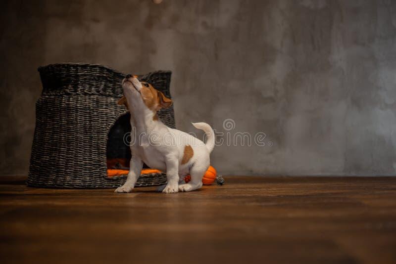 Des chiots de Jack Russell Terrier sont joués à côté d'une maison grise en osier avec les oreillers oranges images libres de droits
