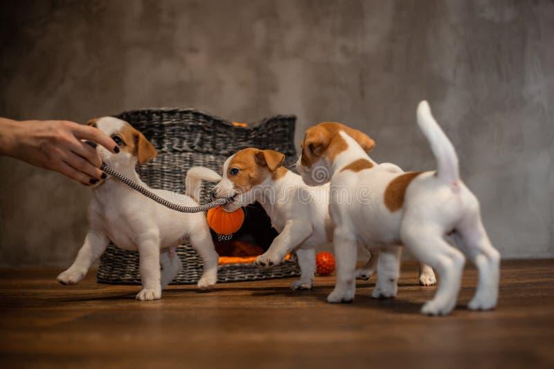 Des chiots de Jack Russell Terrier sont joués à côté d'une maison grise en osier avec les oreillers oranges images stock